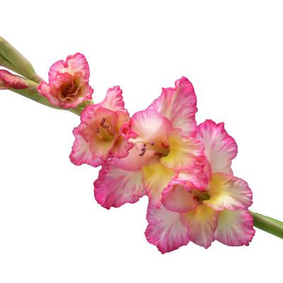 Гладиолус
